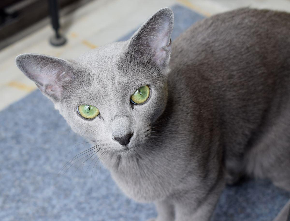 Venäjänsininen kissa tuijottaa kameraan.