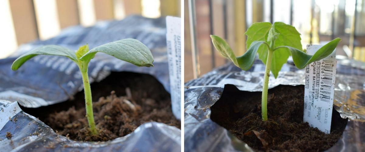 Kavihuonekurkun taimet kasvusäkissä parvekepuutarhassa