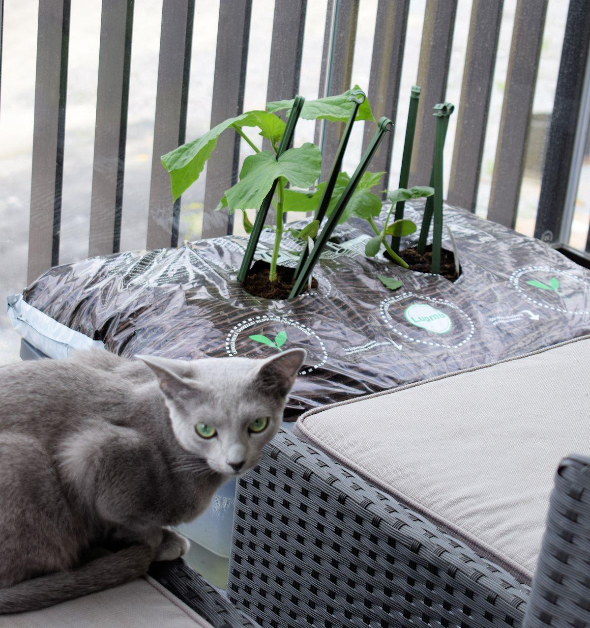 Venäjänsininen kissa parvekkeella.