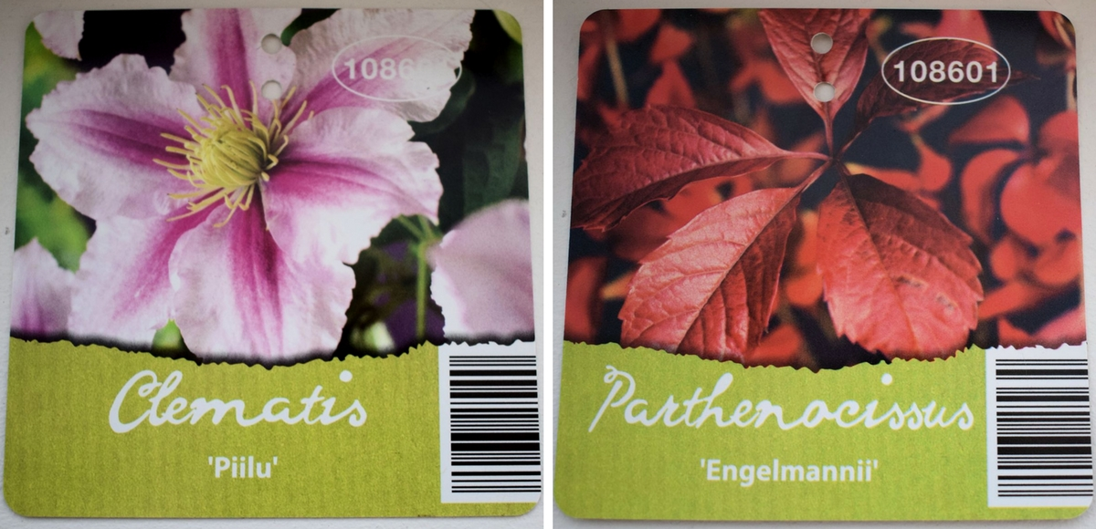 Nimikortti clematis Piilu ja parthenocissus Engelmannii