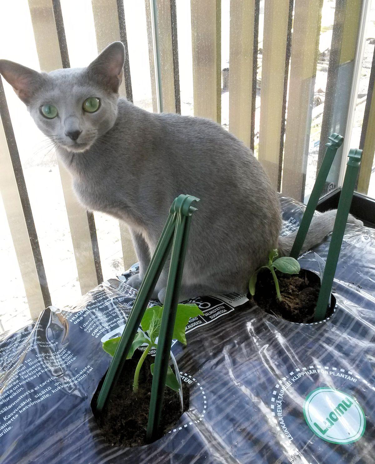 kissa istuu kurkuntaimien kanssa