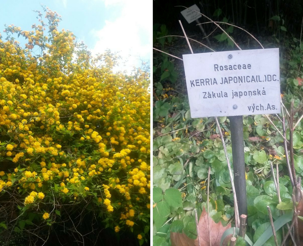 pallokerria, rosaceae kerria japonica