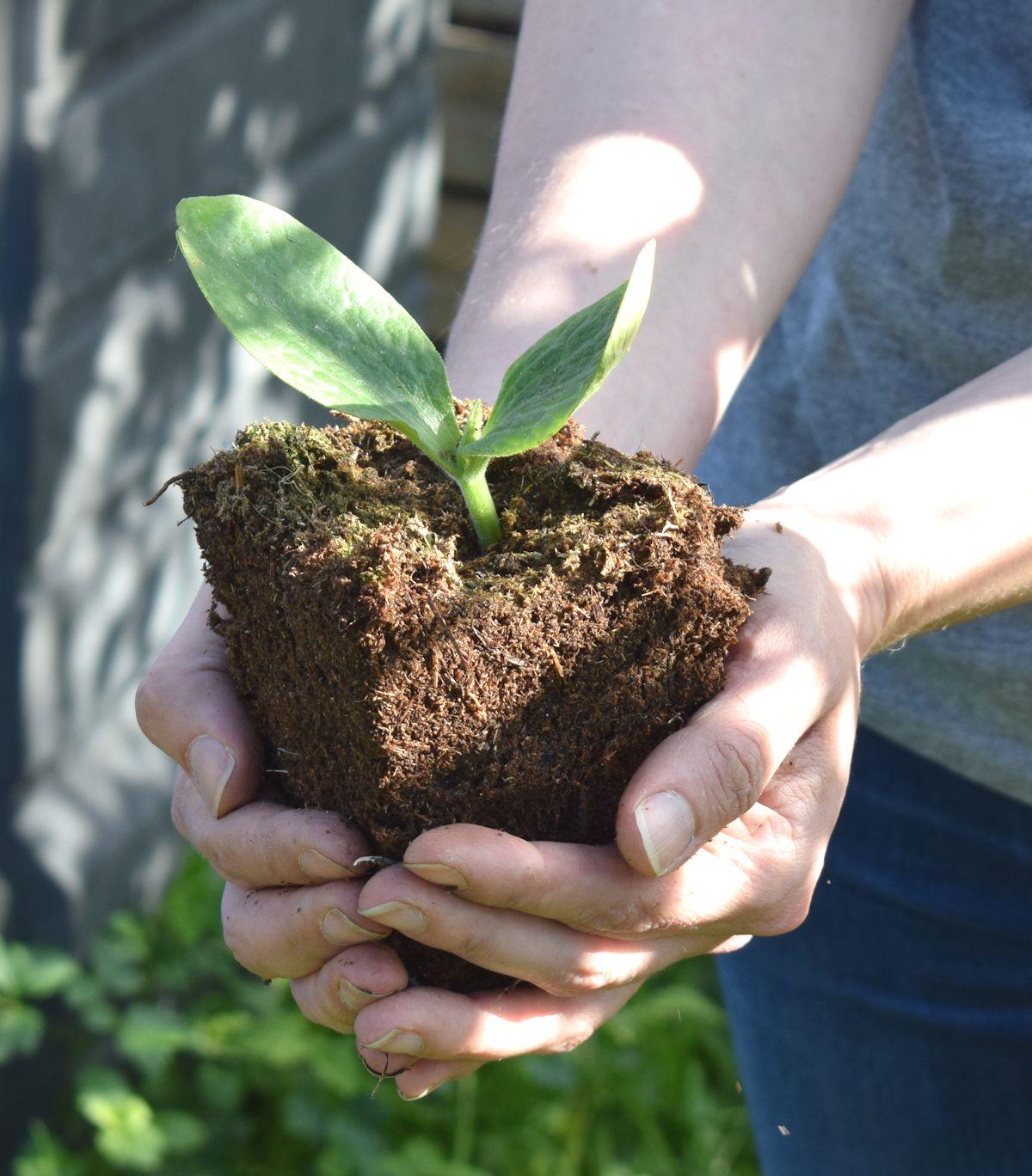 Kesäkurpitsa kompostiin
