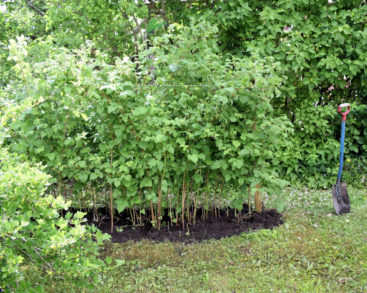 Kompostimultaa vadelmien juurelle.
