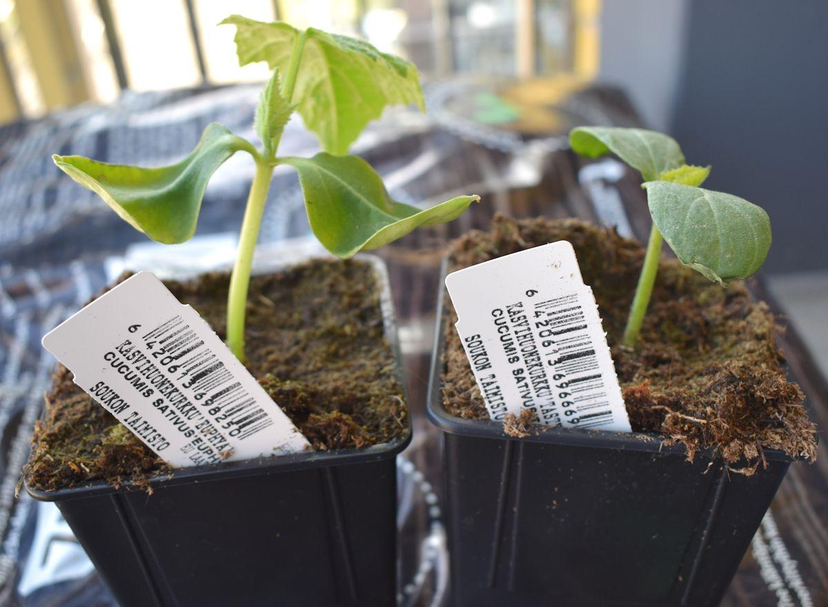kasvihuonekurkku taimet parvekkeella