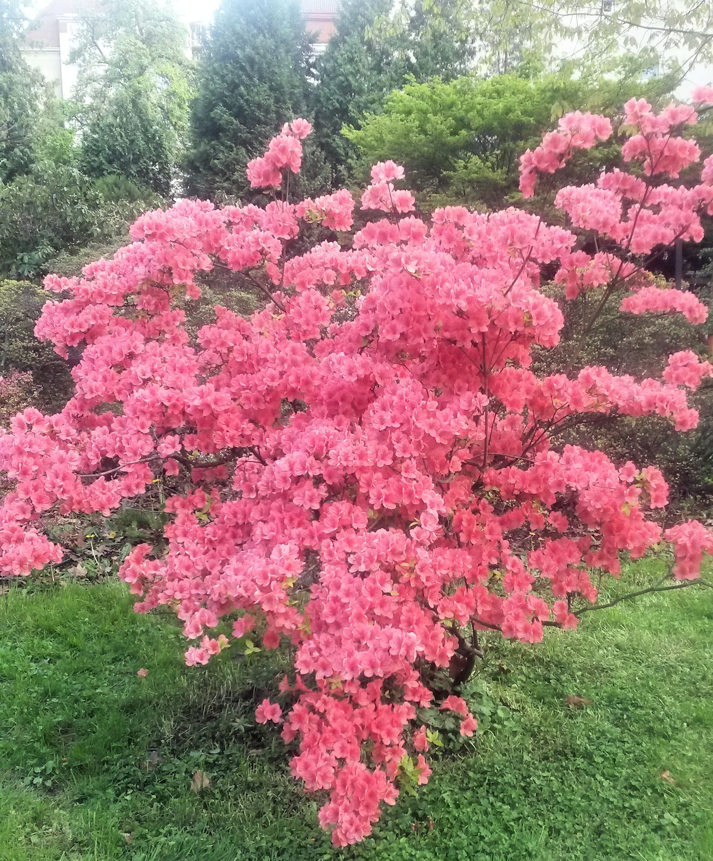 punainen valtoimenaan kukkiva pensas