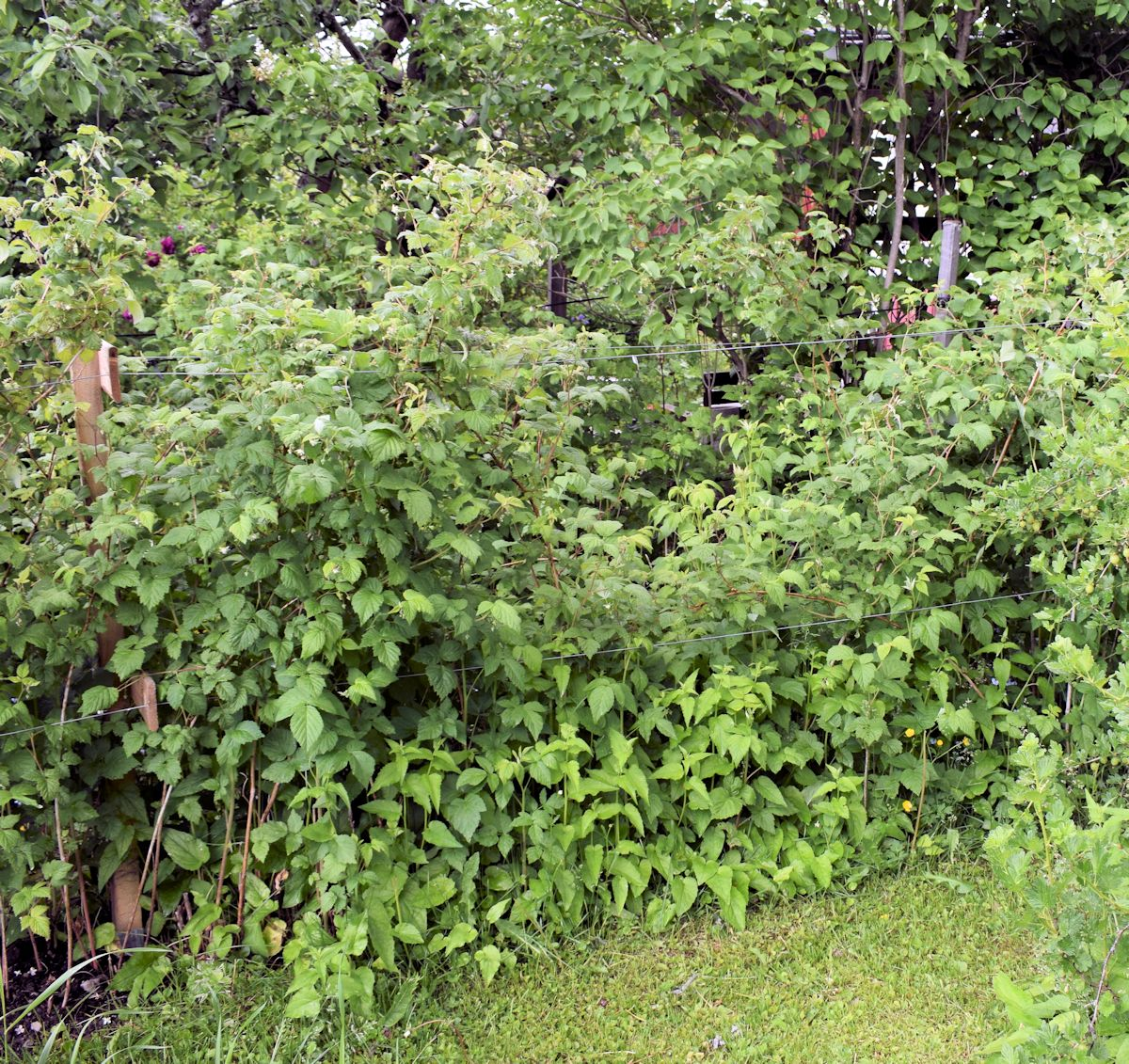 Rikkaruohot vadelmapensaan juurella.