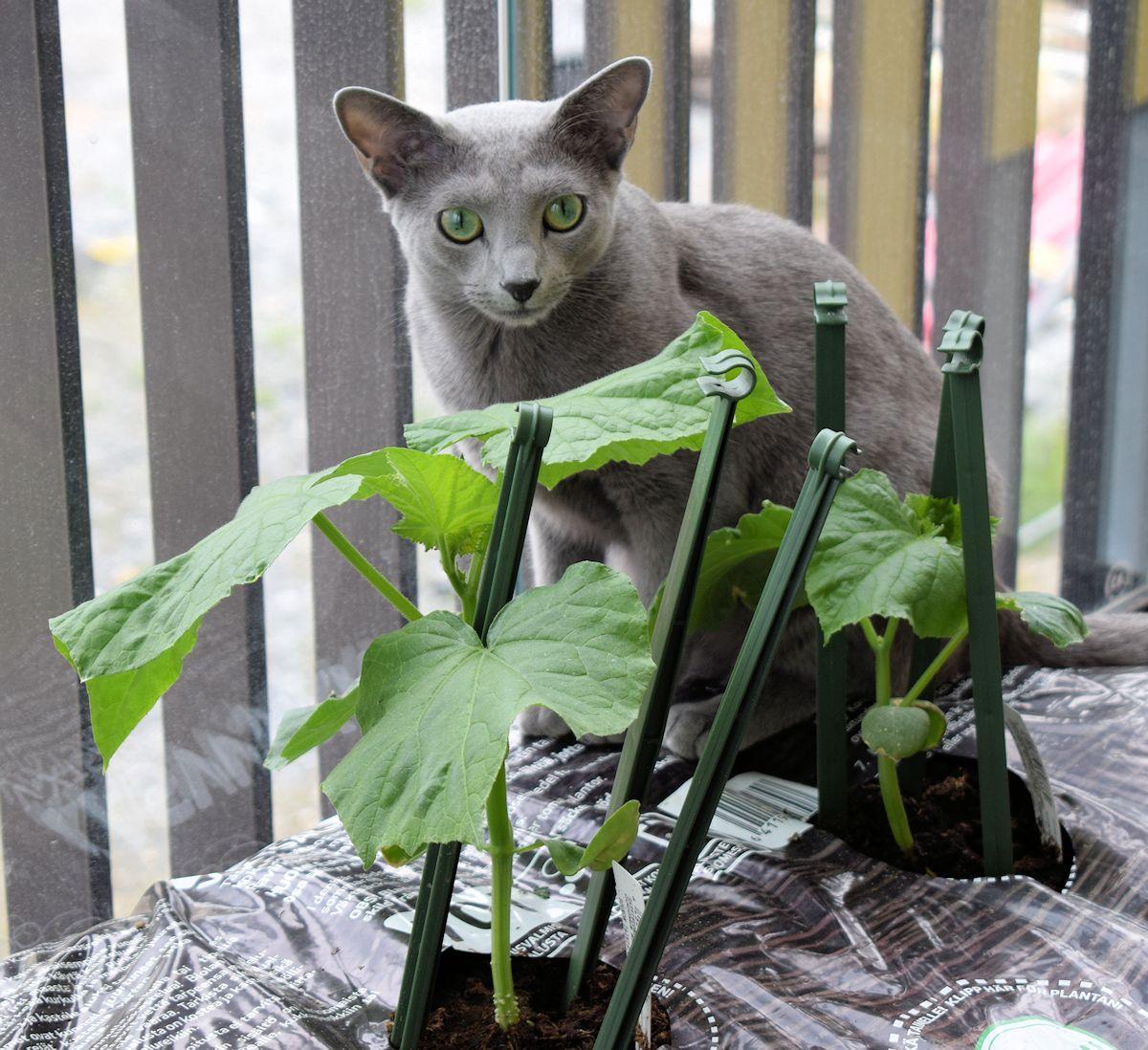 Venäjänsininen kissa kurkkujen takana.