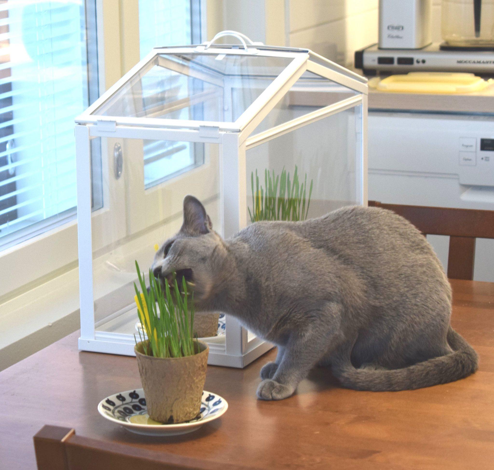 Kissanruoho kauran siemenistä.