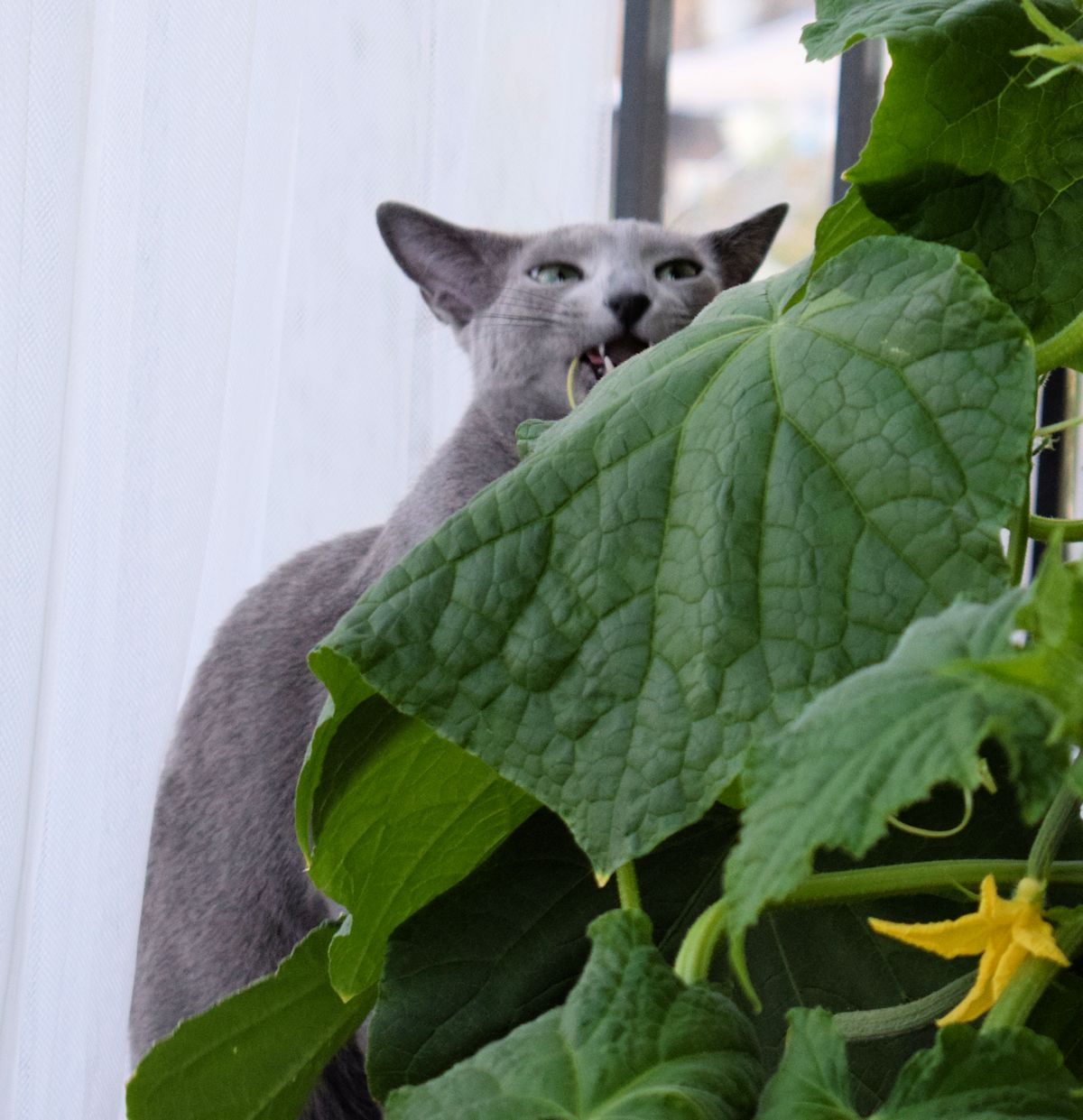 kissa syö kurkuntaimea.