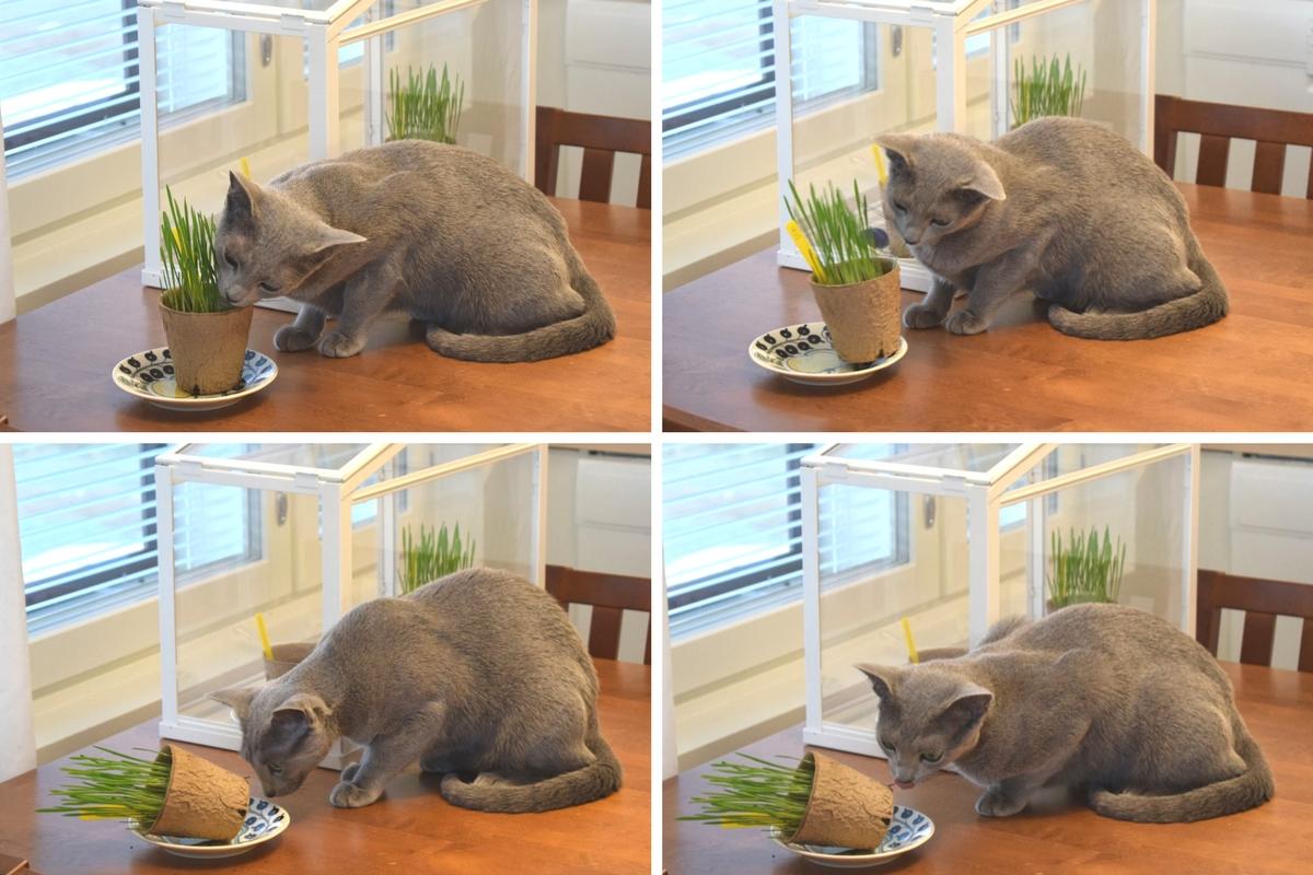 Kissa syö kissanruohoa.