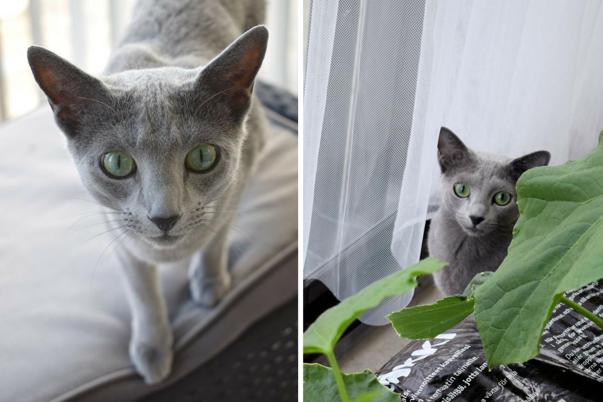 Venäjän siniset kissat parvekkeella.