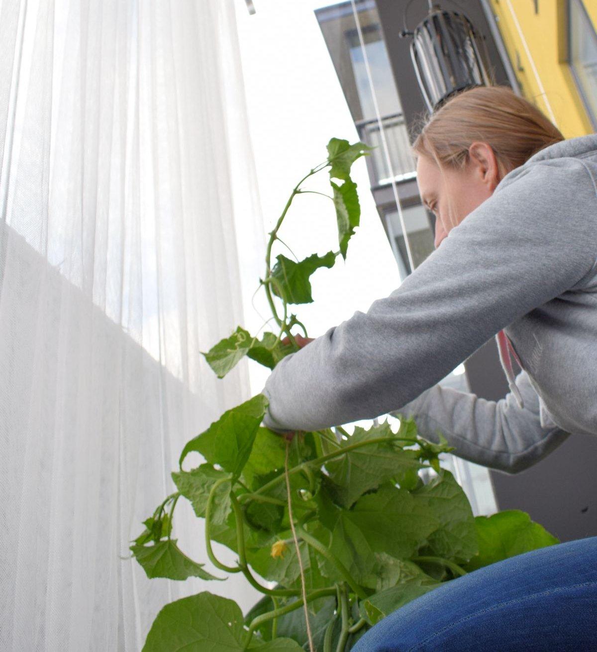 Kasvihuonekurkkujen tukeminen parvekkeella.