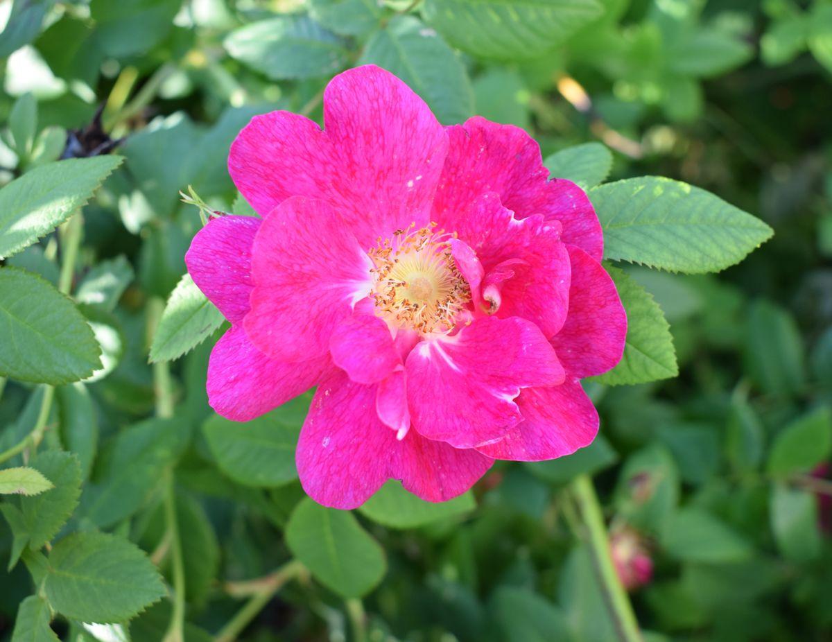 Kirkkaan pinkki ruusu.