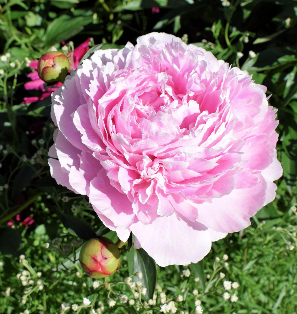 Vaaleanpunainen Sarah Bernhard pioni.