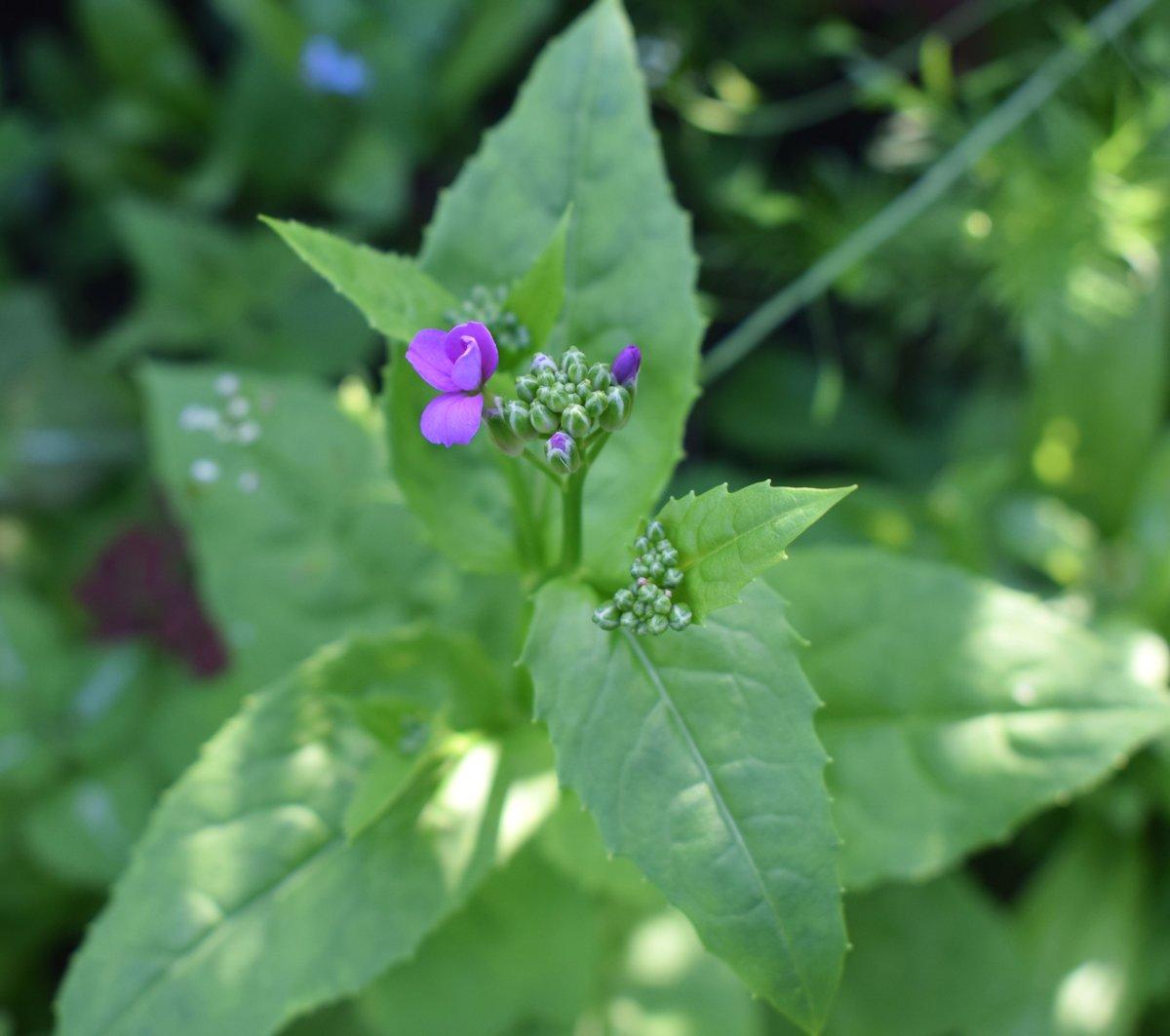 Violetti kukka avautumassa.