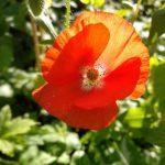 Siemenestä kukaksi