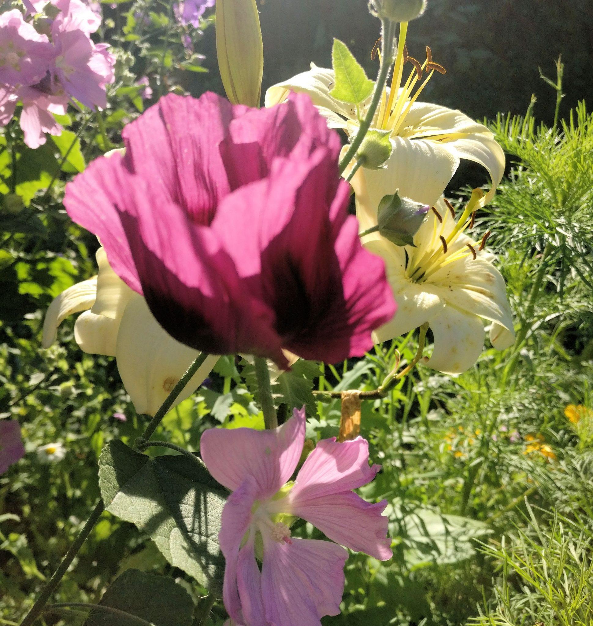 Kaunis kesäinen kukkakuva: pioniunikko, lilja ja harmaamalvikki.