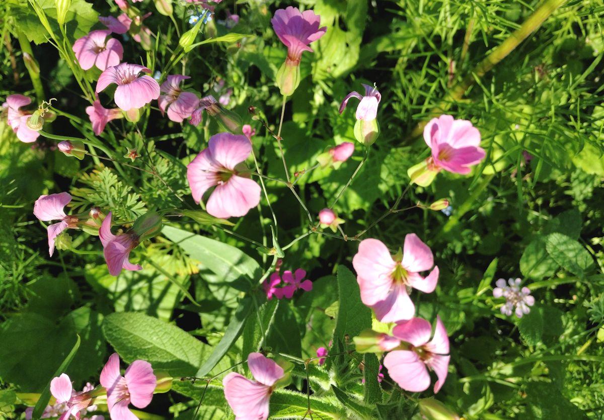 Vaaleanpunaisia pieniä kukkia.