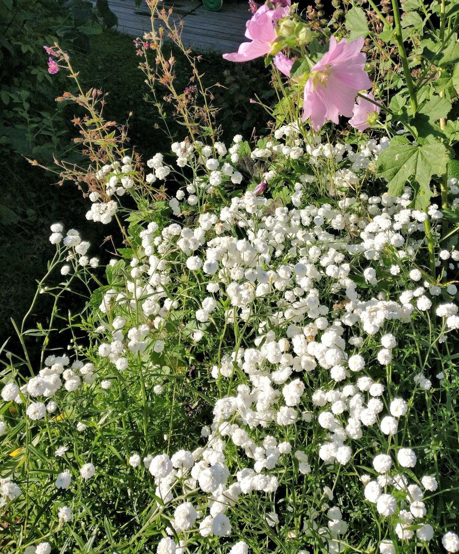 Valkoinen kerrottu pieni kukka.