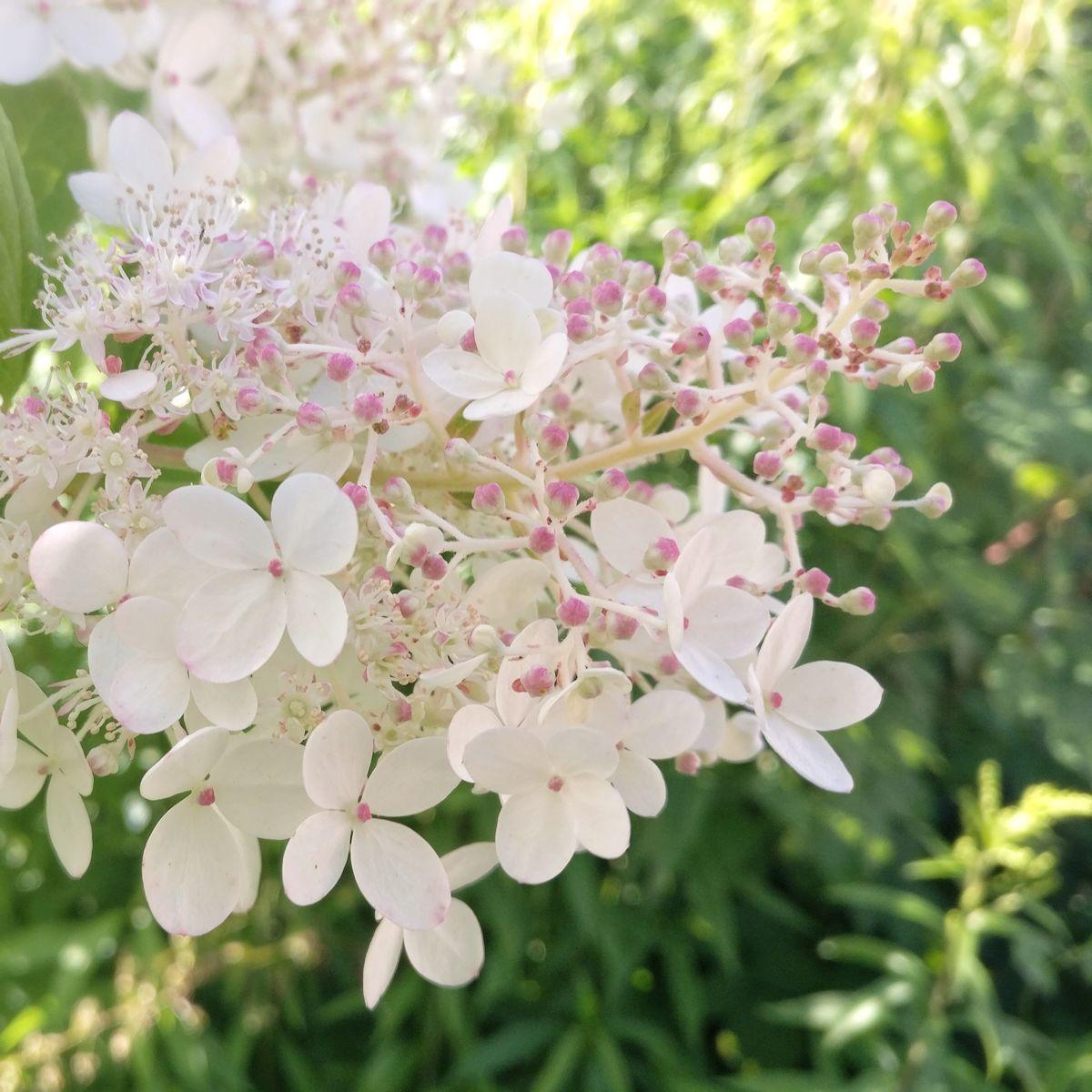 Hortensian kukinto