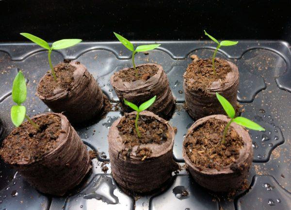 kuusi peintä chilin taimea