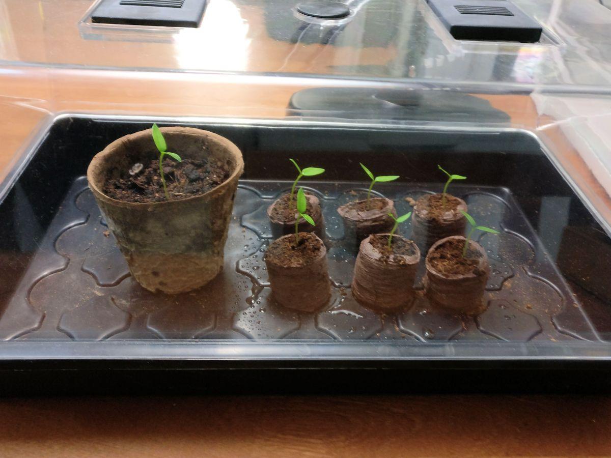 chilin taimet pienoiskasvihuoneessa