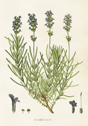Sköna Ting kasvitaulu juliste laventeli