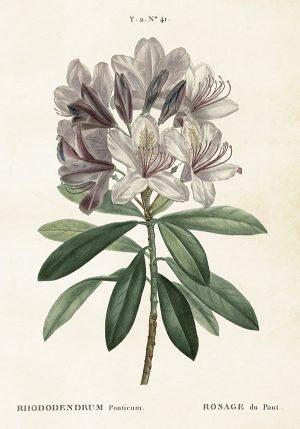Sköna Ting vintage juliste alppiruusu