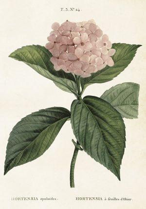 Sköna Ting vintage juliste hortensia