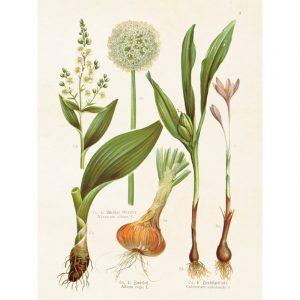 Kasviaiheinen sisustus juliste Laukka ja Lilja. Taulu sopii hyvin vanhan talon tai kesämökin seinälle.
