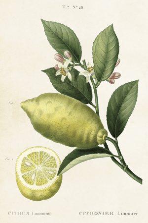 Sitruunankukka postikortti