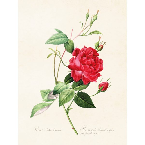 Ruusu juliste Rosa indica. Punainen kerrottu Ruusu taulu.