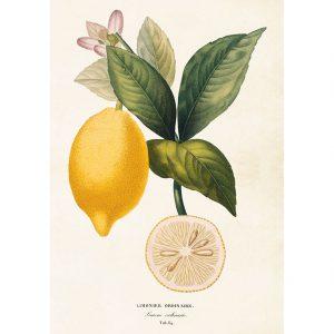 opetustaulu juliste sitruuna limonier