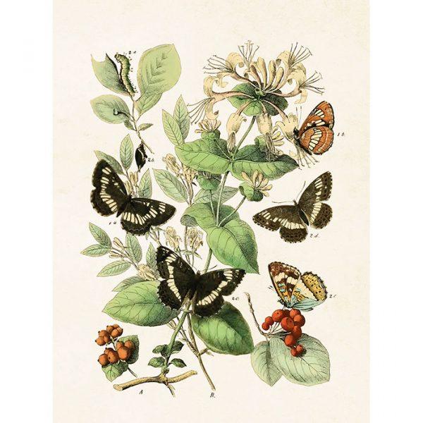 Perhoset juliste tummia perhosia ja valkoinen kukka