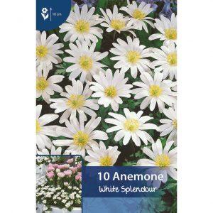 balkaninvuokkoja, jonka kukissa on useita valkoisia suippoja terälehtiä ja keltavihreä sisus