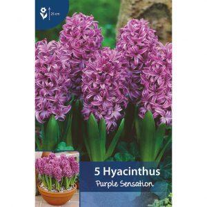 lämpimän violetteja hyasintteja, joissa pieniä suippolehtisiä kukkia jotka muodostavat pyöreän pitkulaisen muodon