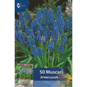 muscari armeniacum varsia, joissa on useita pieniä sinisiä kellomaisia kukkia, jotka roikkuvat maata kohti