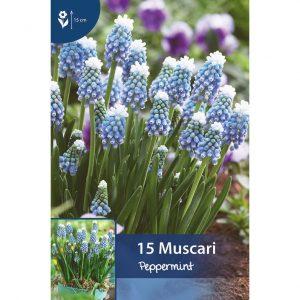 helmililjan varsia, joissa on useita pieniä sinivalkoisia kellomaisia kukkia, jotka roikkuvat maata kohti