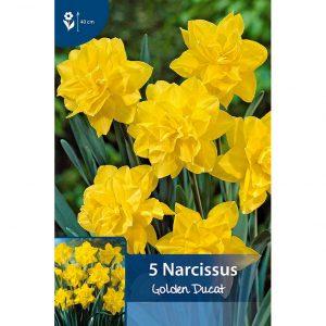 keltaisia golden ducat narsisseja, joissa on kerroksittaisia lehtiä jotka muodostavat tähtimäisen muodon