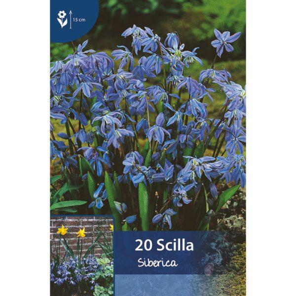 useita pieniä sinisiä kukkia kukkasipulien varsissa