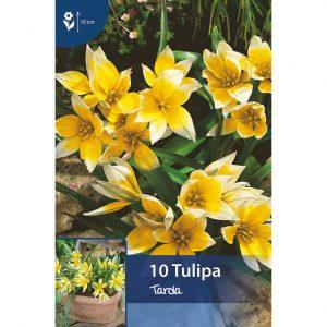 keltavalkoisia tarda tulppaaneja, joissa teräväkärkiset lehdet