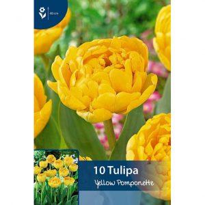 keltainen yellow pomponette tulppaani